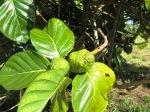 Noni Fruit Tree